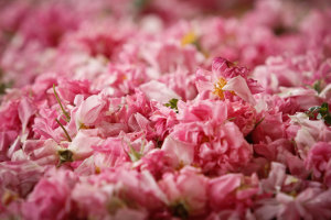 Rose-crop